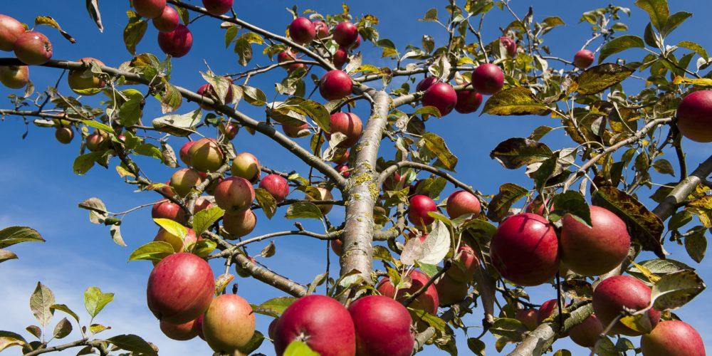 Pommes du Pays d'Othe