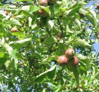Apples and cider in Pays d'Othe