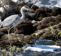Ornithologie dans le Parc Naturel Régional de la Forêt d'Orient