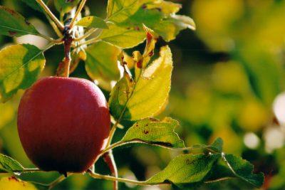 Pomme Aur+®lien Ibanez
