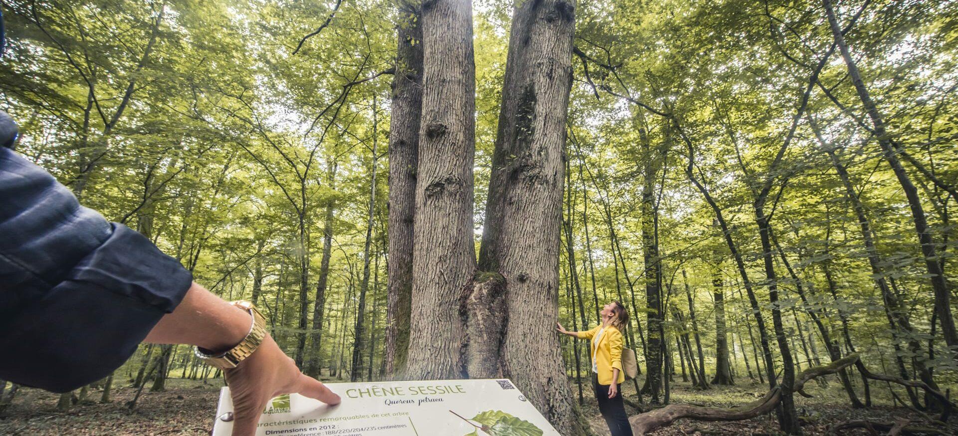 arbres-remarquables-du-pays-dOthe---Le-Bonheur-des-gens