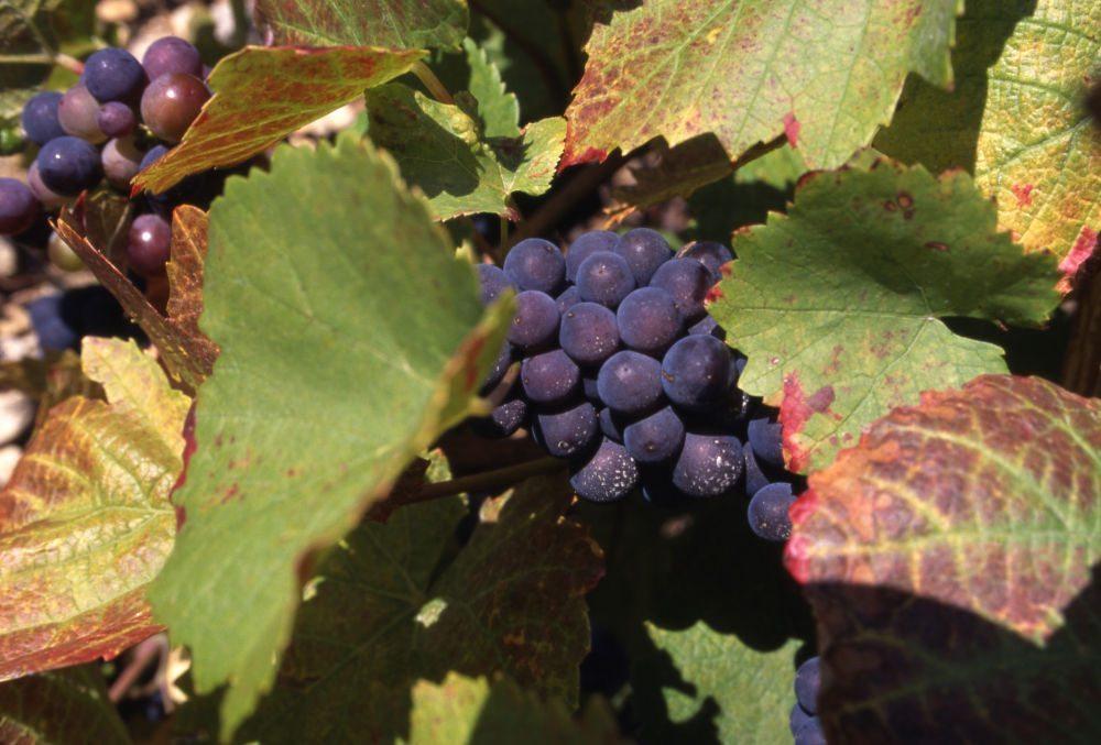 vigne-raisin-08-®Philippe-Praliaud