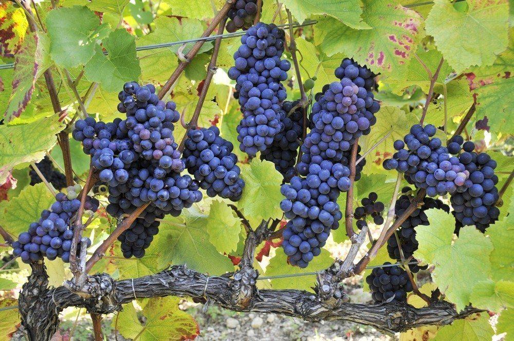 Cote-des-Bars-vigne-raisin-pinot-noir-cDidier-Guy