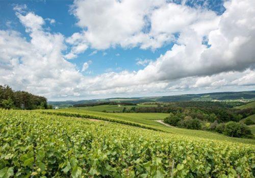 Les vignes aux Riceys - Été 2017