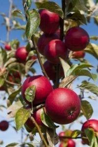 Exploitation de pommes pour le cidre. © Stéphane Herbert
