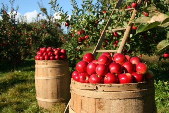 Pommes de la Ferme d'Hotte