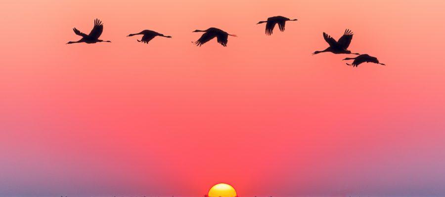 Observation oiseaux migrateurs